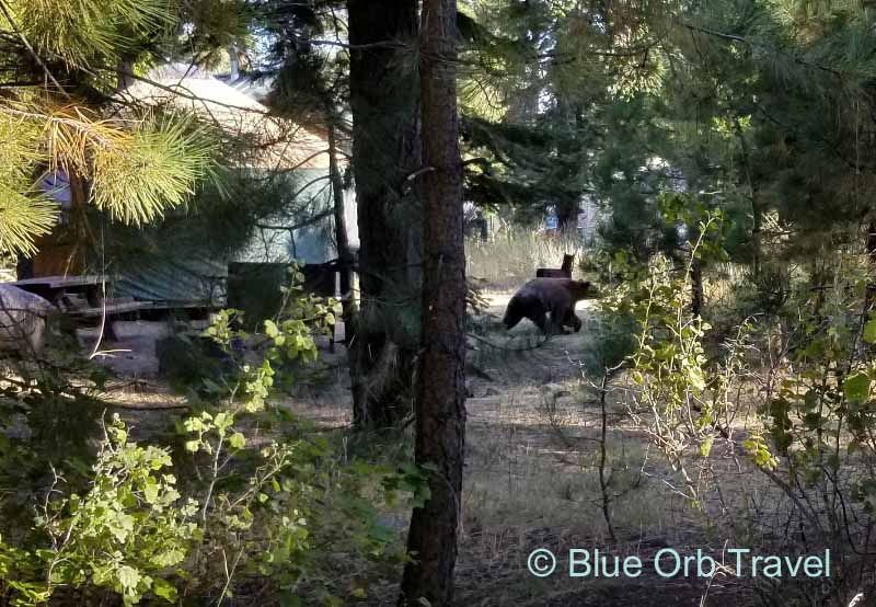Bear Walking Through Camp